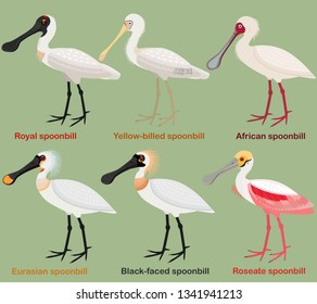 Cute wading bird vector illustration set, Royal Spoonbill, Yellow-billed, African, Eurasian, Black-faced, Roseate spoonbill, Colorful European bird cartoon collection