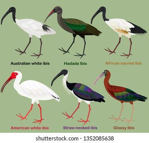 Cute wading bird vector illustration set, Australian white ibis, Hadada, African sacred, American white, Straw-necked, Glossy Ibis, Colorful bird cartoon collection