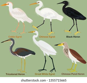 Cute wading bird vector illustration set, Tricolored, Black, Chinese pond heron. Chinese, Great White, Cattle egret, Colorful bird cartoon collection