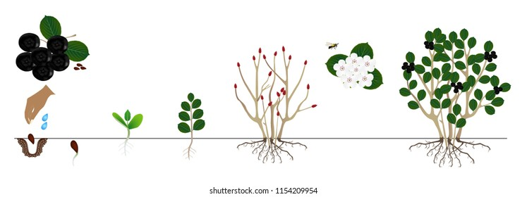 Cycle of a bush black chokeberry (Aronia melanocarpa) isolated on white background.
