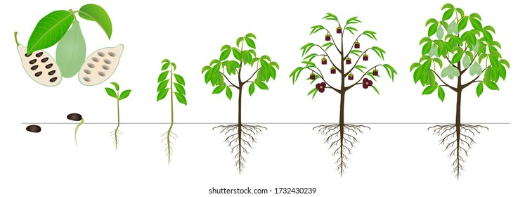 Cycle of growth of asimina triloba the pawpaw plant on a white background.