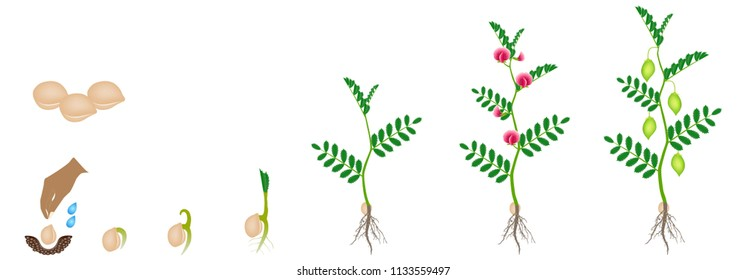 Cycle of growth of a chickpea plant isolated on a white background.