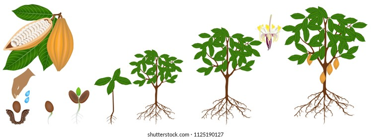 Cycle of growth of a cocoa plant isolated on a white background.