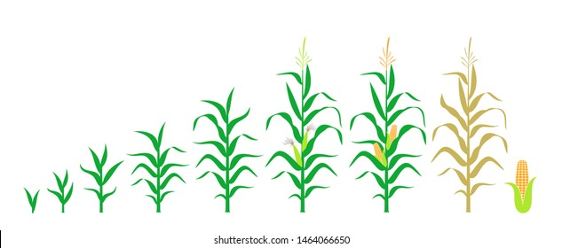 Cycle of growth of a corn. Isolated corn on white background