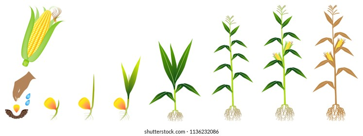 Cycle of growth of a corn plant on a white background.