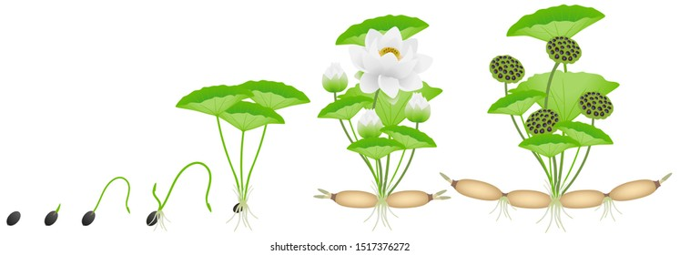 Cycle of growth of lotus plant on a white background.
