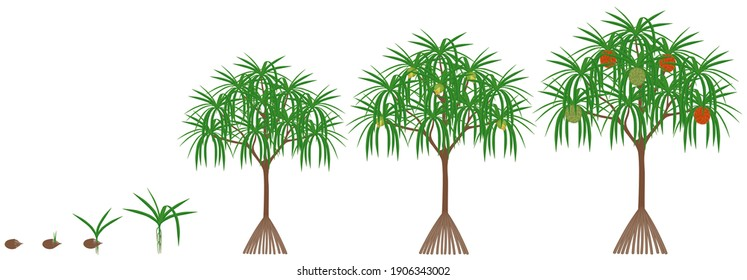Cycle of growth of a pandanus tectorius tree with hala fruit on a white background.