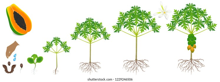 Cycle of growth of a papaya plant on a white background.