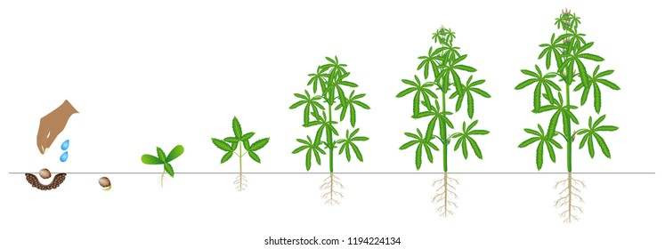 Cycle of growth of a plant of a cannabis isolated on a white background.