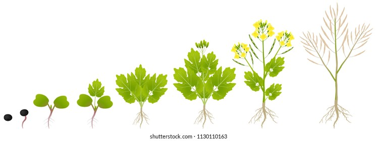 Cycle of growth of a plant of a canola isolated on a white background.