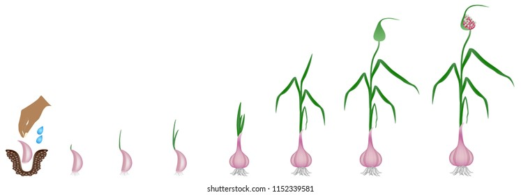 Cycle of growth of a plant of a garlic isolated on a white background.