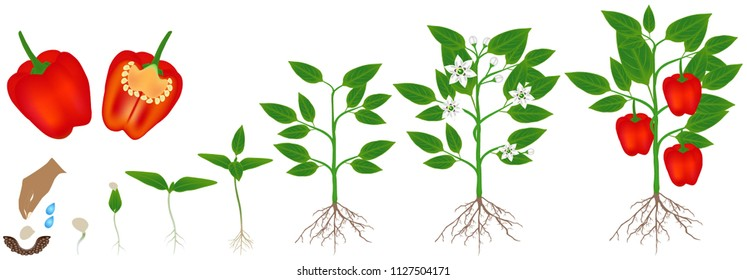 Cycle of growth of a plant of red pepper, isolated on a white background.