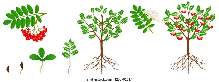 Cycle of growth of a red rowan plant.
