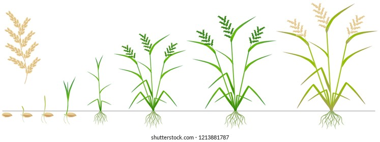 Cycle of growth of a rice plant on a white background.
