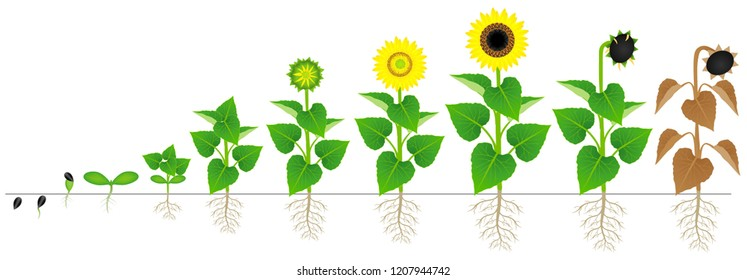 Cycle of growth of sunflower plant isolated on white background.
