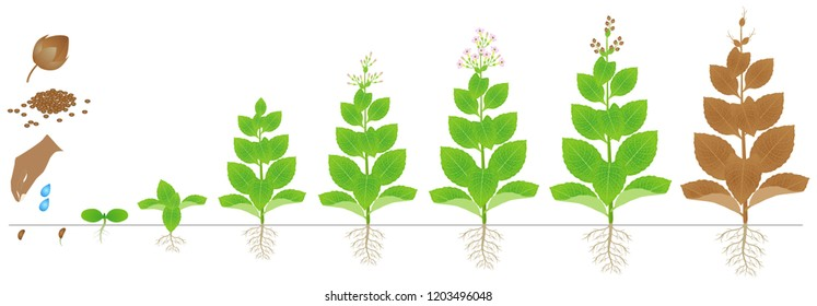 Cycle of growth of tobacco plant isolated on white background.