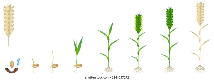 Cycle of growth of a wheat plant on a white background.