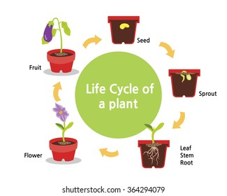 A cycle of a plants growth from seed to fruit