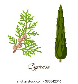 Cypress branch (Cupressus sempervirens) and tree. Vector illustration.