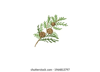 Cypress herb Vector illustration isolated on white background