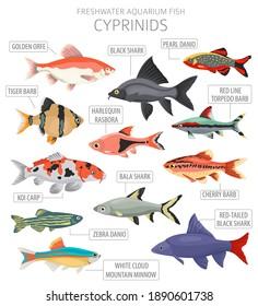 Cyprinids. Freshwater aquarium fish icon set flat style isolated on white.  Vector illustration
