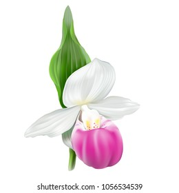 Cypripedium reginae, Showy lady's slipper.Terrestrial wild orchid. Realistic vector illustration on white background.