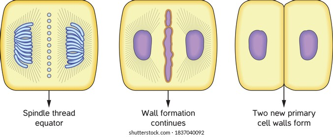 Cytoplasm division in a plant cell