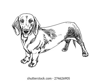Dachshund Dog. Hand drawn. Vector illustration