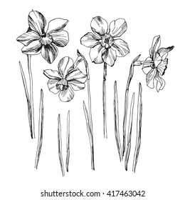 Daffodil drawing set isolated on white background. Vector sketch narcissus illustration. Narcissus in bloom. Ink painted narcissus flowers over white. Blossom collection. Hand drawn illustration.