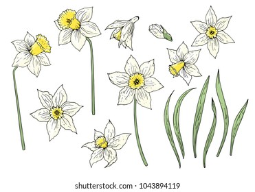 Daffodil flower elements set isolated on white. Hand drawn objects for spring season design