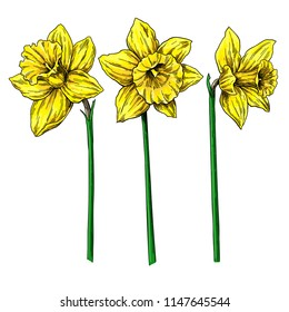 Daffodil flower and leaves drawing. Vector hand drawn  floral object set. Botanical black ink sketch. Great for tattoo, invitations, greeting cards, decor