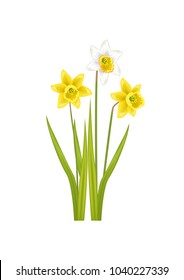 Daffodil narcissus bulbous Eurasian plant, flowers with white or pale outer petals and a shallow orange or yellow cup in the center, vector illustration