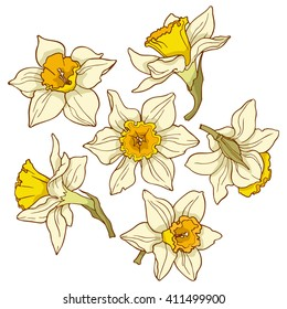 Daffodils, colored vector images.