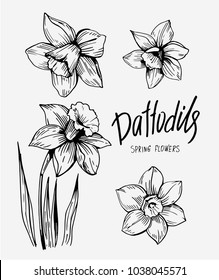 Daffodils hand drawn sketch. Spring flowers. Vector illustration