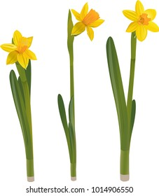 Daffodils on a white background. Vector illustration.