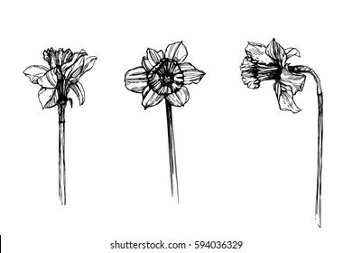 Daffodils vector set. Spring blooming flowers. Narcissus ink drawing