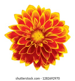 Dahlia flower mixed orange and yellow in vector illustration