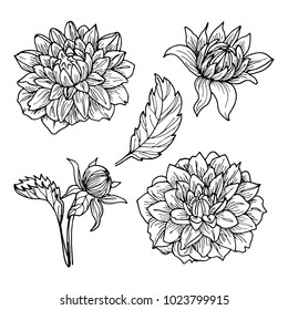Dahlia flowers line art drawing set.