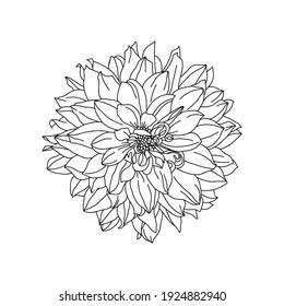 Dahlia, garden flower. Line art silhouette. Vector outline illustration.