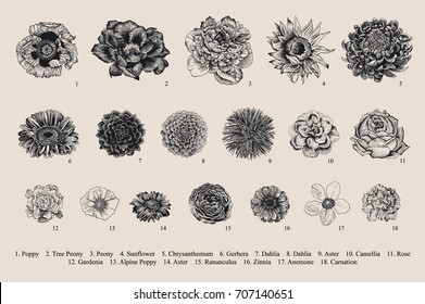 Dahlias set. Botanical vector vintage illustration. Design elements. Black and white