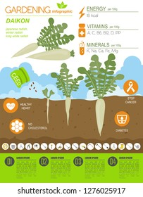 Daikon beneficial features graphic template. Gardening, farming infographic, how it grows. Flat style design. Vector illustration