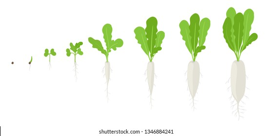 Daikon growth stages. Planting of long white winter radish plant. Daikon life cycle. Vector illustration on white background.