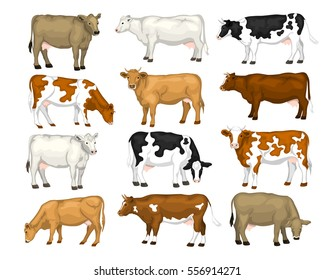 Dairy cattle set. Swiss brown, ayrshire, holstein, milking white and brown shorthorns, guernsey and jersey cows collection.