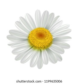 Daisy camomile flower head isolated object. Vector illustration
