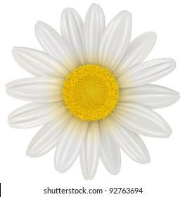 Daisy, chamomile flower isolated; vector.