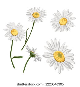 Daisy flower drawing. Hand drawn floral object. Chamomile sketch set. Wild botanical garden bloom. Great label, icon, greeting cards, décor.