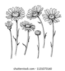 Daisy flower drawing. Vector hand drawn engraved floral set. Chamomile black ink sketch. Wild botanical garden bloom.  Great for tea packaging, label, icon, greeting cards, decor