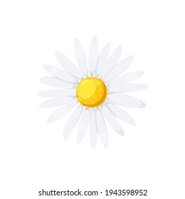 Daisy isolated realistic blooming chamomile icon. Vector flower with white petals and yellow center, camomile blossom head, floral design element. Cartoon aster or gerbera, springtime daisy-flower