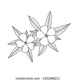 Damiana (Turnera diffusa). Ingredient of traditional Mexican liqueur. Vector hand drawn illustration.