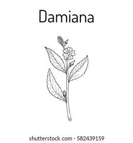 Damiana (Turnera diffusa), medicinal plant. Hand drawn botanical vector illustration